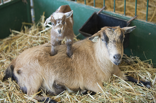 A five day old Nigerian dwarf goat climbs his mom at the Sheep Unit at Cal Poly Pomona. The young goat was one of 17 babies to CPP goats this year.