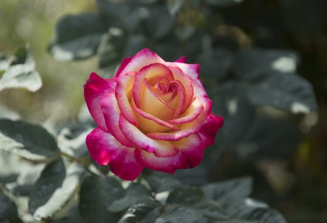 A Dream Come True rose at the Kellogg Rose Garden at Cal Poly Pomona.