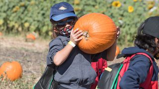 A young child picks up a pumpkin at the Cal Poly Pomona pumpkin patch.